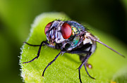 Annoying Metal Prints - Fly macro Metal Print by Steve Mcsweeny