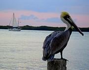 Robert Francis - Fly Pelican