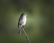 Anita Oakley - Flycatcher in Meditation