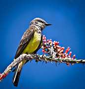 Flycatcher Metal Prints - Flycatcher Metal Print by Robert Bales