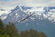 Eagle Metal Prints - Flying Amongst The Mountains Metal Print by Tim Grams
