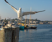 Seagull Metal Prints - Flying Away Metal Print by Bill  Wakeley
