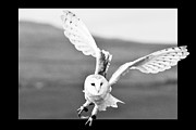 Barn Pyrography Posters - Flying Barn Owl Poster by Karl Wilson
