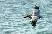 Flying Birds Prints - Flying Brown Pelican  Print by Carol Groenen