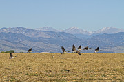Wild Geese Flying Posters - Flying Canadian Geese Colorado Rocky Mountains 1 Poster by James Bo Insogna
