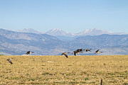 Wild Geese Flying Posters - Flying Canadian Geese Rocky Mountains 2 Poster by James Bo Insogna