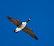 Michael Murphy - Flying Canadian Goose