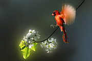 Dan Friend - Flying Cardinal landing on branch