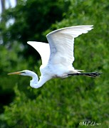Maria Urso - Artist And Photographer Acrylic Prints - Flying Egret Closeup Acrylic Print by Maria Urso - Artist and Photographer