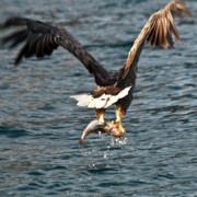 Water Birds - Flying European Sea Eagle 3 by Heiko Koehrer-Wagner