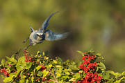 Scrub Jay Posters - Flying Florida Scrub Jay Photo Poster by Meg Rousher