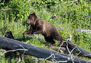 Raspberry Photo Originals - Flying Grizzly by Mark Andrews