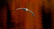 Flying Seagull Framed Prints - Flying Gull On Fall Color Framed Print by Robert Frederick
