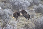 Bald Eagle Photo Framed Prints - Flying Low Framed Print by Mike  Dawson