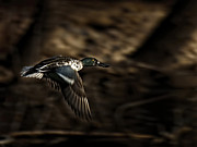 Beach Wildlife Posters - Flying Northern Shoveler Poster by Thomas Young