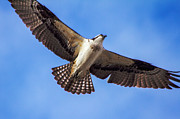 Fishers Posters - Flying Osprey Poster by Robert Bales