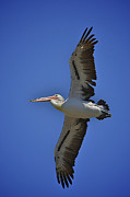 Australian Open Metal Prints - Flying Pelican 3 Metal Print by Heng Tan