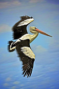 Australian Open Metal Prints - Flying Pelican 4 Metal Print by Heng Tan