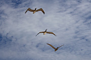 Outdoor Art - Flying Pelicans by Genaro Rojas