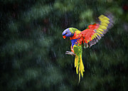Australian Open Metal Prints - Flying Rainbow Lorikeet 1 Metal Print by Heng Tan