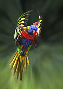 Australian Open Metal Prints - Flying Rainbow Lorikeet 9 Metal Print by Heng Tan
