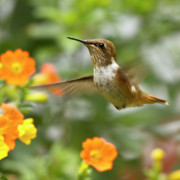 Yellow Flowers Posters - Flying Scintillant Hummingbird Poster by Heiko Koehrer-Wagner