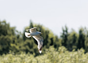 Flying Seagull Framed Prints - Flying Seagull Framed Print by Leif Sohlman