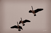 Flying Geese Framed Prints - Flying South Framed Print by Jim  Calarese