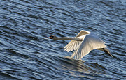Flying Swan Photos - Flying swan by Michael Mogensen