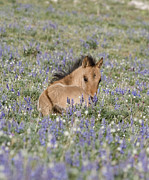 Wild Horses Posters - Foal in the Lupine Poster by Carol Walker