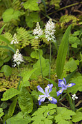 Forest Floor Prints - Foamflower and Crested Dwarf Iris - D008428 Print by Daniel Dempster