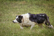 Border Collie Photos - Focus by Bill  Wakeley