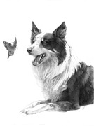 Collie Drawings Posters - Focus Poster by CarrieAnn Reda