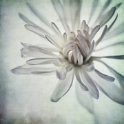 White Daisies Photos - Focus On The Heart by Priska Wettstein