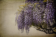 Beautiful Purples Prints - Focus on Wisteria Print by Terry Rowe