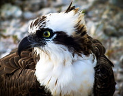 Birds Of Prey Photos - Focused by Karen Wiles