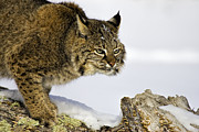 Bobcats Framed Prints - Focusing Framed Print by Jack Milchanowski