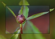 Focal Color Art Prints - Focusing on Peony and Ant Print by Gail Matthews