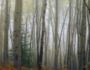 Large Format Prints - Foggy Aspen Forest Near Ester Interior Print by Vance Gese