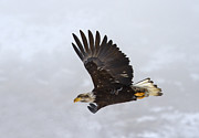 Eagle Photos - Foggy Flight by Mike  Dawson