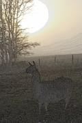 Llama Digital Art Metal Prints - Foggy Llama Sunset Metal Print by Kathy Sampson