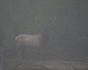 Foggy Morning Posters - Foggy Morning Bull elk Poster by Gary Langley