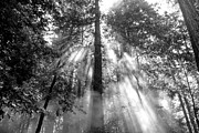All Prints - Foggy Redwoods Black and White Print by Shayne Skower