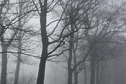 Liz Bills - Foggy trees