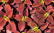 Donna Haggerty - Foliage of Coleus