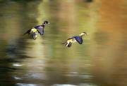 Wood Duck Prints - Follow Me Print by Bill  Wakeley