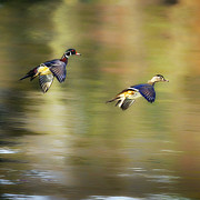 Wood Duck Photos - Follow Me Square by Bill  Wakeley