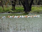 Joyce Dickens - Follow The Leader  Pelicans Fishing