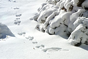 Rachel Christine Nowicki Prints - footprints in the Snow Print by Rachel Christine Nowicki
