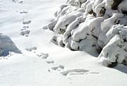 footprints in the Snow Print by Rachel Christine Nowicki